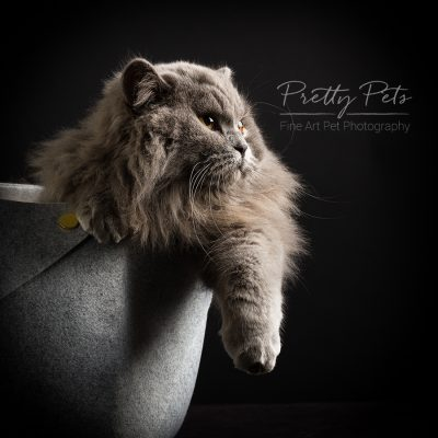 kattenfotografie British longhair