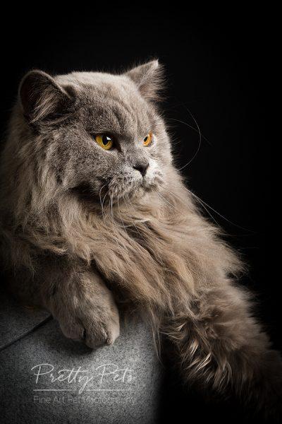 Kattenfotografie Britse Langhaar