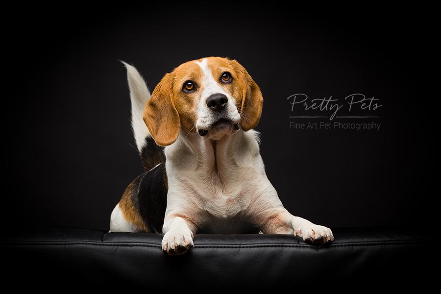 hondenfotografie Beagle