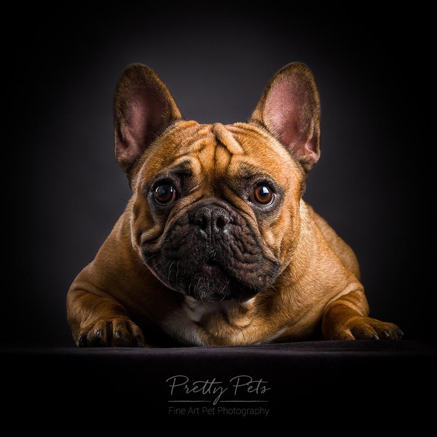 hondenfotografie Franse Bulldog