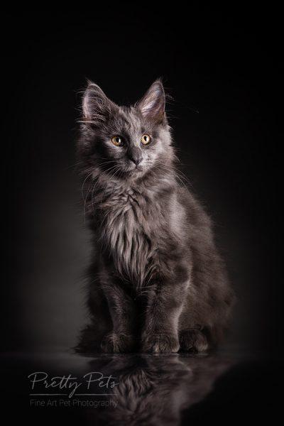 kattenfotografie Main Coon