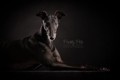 hondenfotografie Greyhound windhond