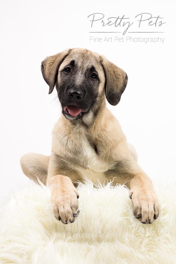 hondenfotografie Anatolische herdershond