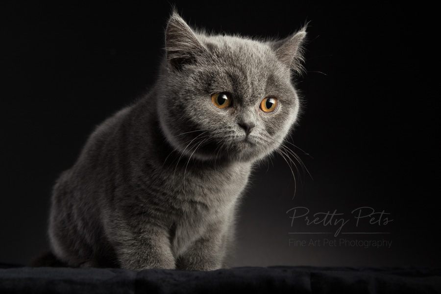 kattenfotografie British Shorthair