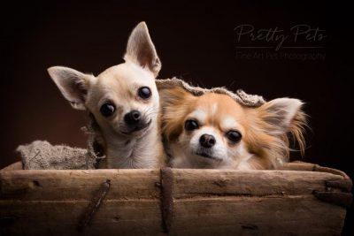 duo chihuahua hondenfotografie