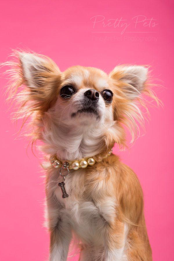 huisdier als model - chihuahua