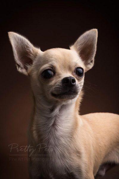 hondenfoto chihuahua