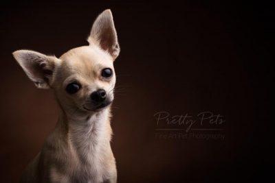 kortharige chihuahua hondenfotografie