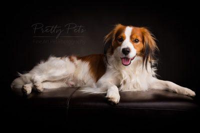 Kooikerhondje hondenfotografie