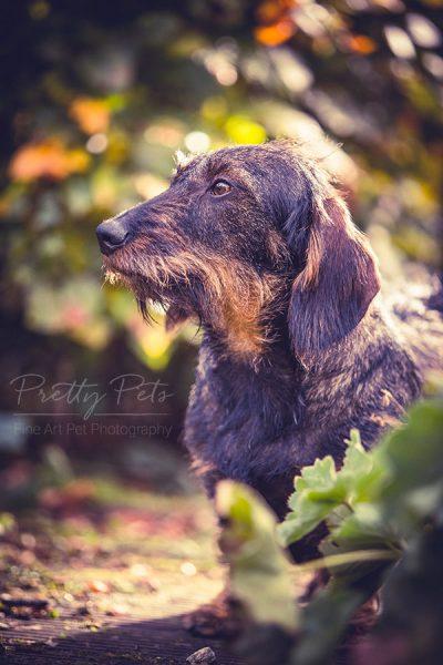 hondenfotografie teckel