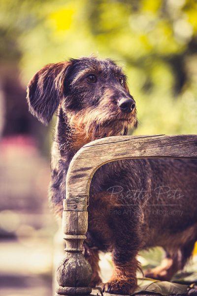 teckel hondenfotografie locatie