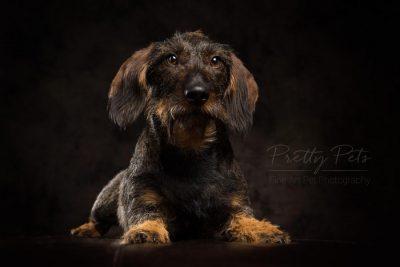 portret hondenfoto teckel