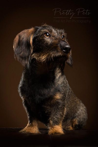 hondenfotografie portret teckel
