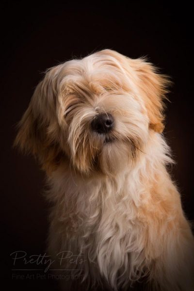 dierenfotografie Tibetaanse Terrier