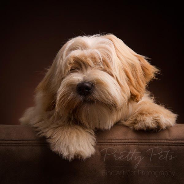 dierenfotografie hond Tibetaanse Terrier
