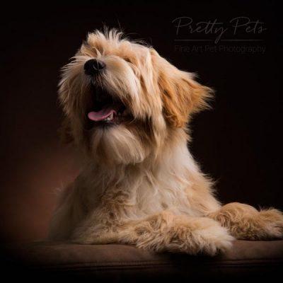 Tibetaanse terrier pub hondenfotograaf
