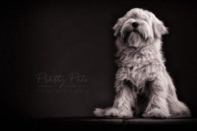 hondenfotografie Tibetaanse terrier