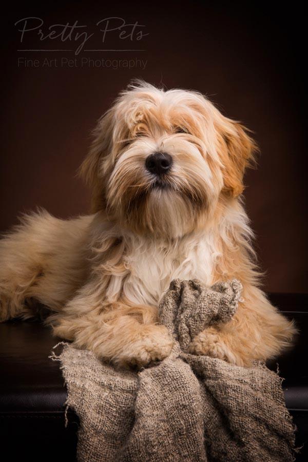 Tibetaanse Terrier hondenfotografie