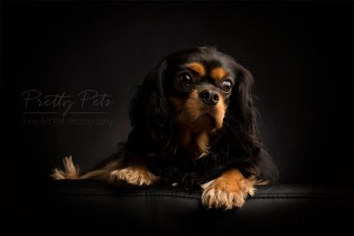 hondenfotografie Cavalier King Charles low key