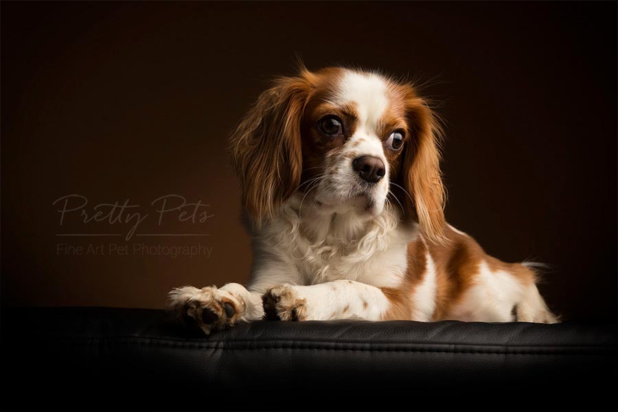 Cavalier King Charles hondenfotograaf
