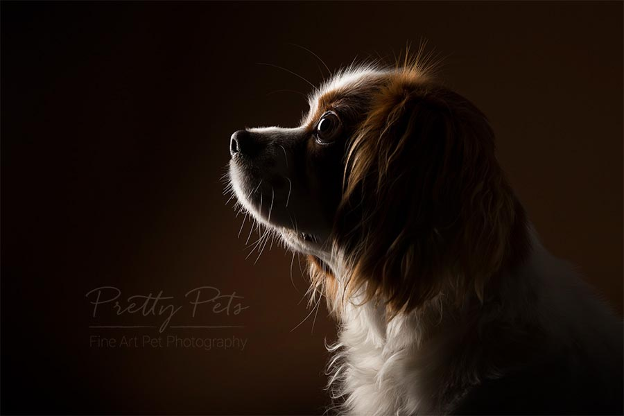 portret Cavalier king charles hondenfotografie