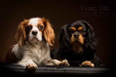 duo cavalier king charles spaniel