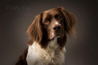 hondenfotografie in studio Drentse Patrijshond