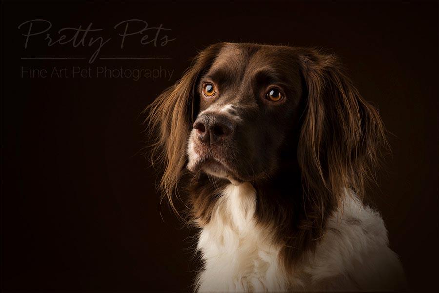 Drentse Patrijshond hondenfotografie in studio