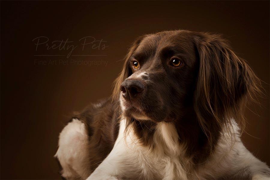 hondenfotografie Drentse Patrijshond