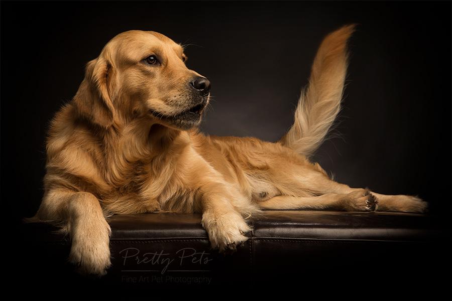 labrador hondenfoto