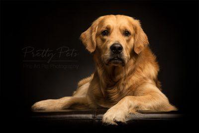 hondenfotografie Labrador
