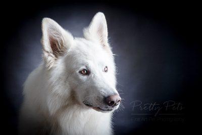 zwitserse herder hondenfotografie