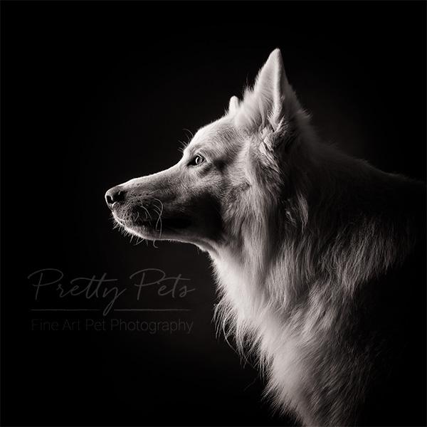 hondenfotografie zwitserse herder