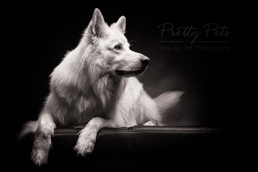 porrtet hondenfotografie zwitserse herder