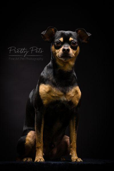 hondenfotografie Doberman Pinscher