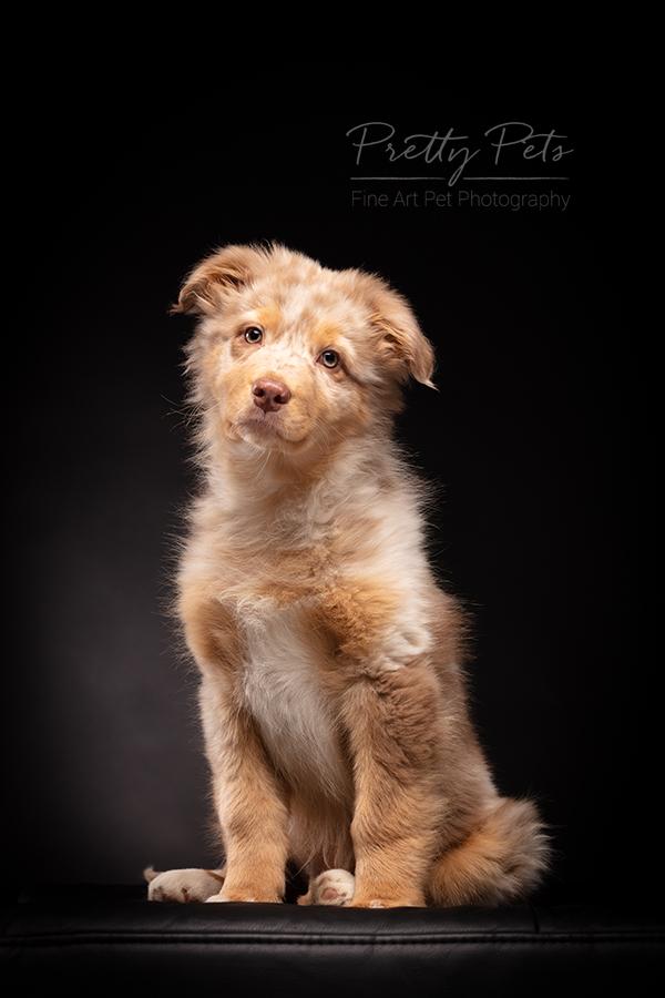 hondenfotografie Australian Shepherd