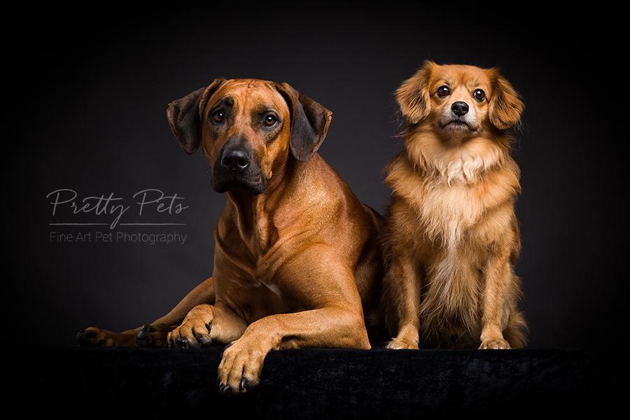 hondenfotografie Rhodesian Ridgeback